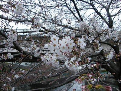 2009032803.jpg 恩田川の桜、1分咲きから3分咲き