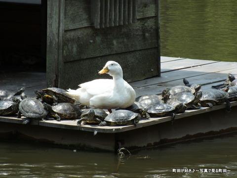 2013052623なんとなく亀・・・@薬師池公園