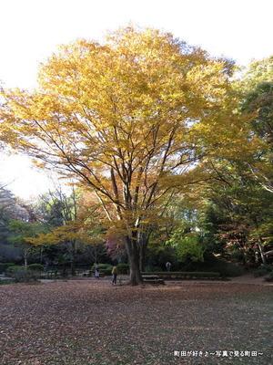 2013112443芹ヶ谷公園の不思議な紅葉