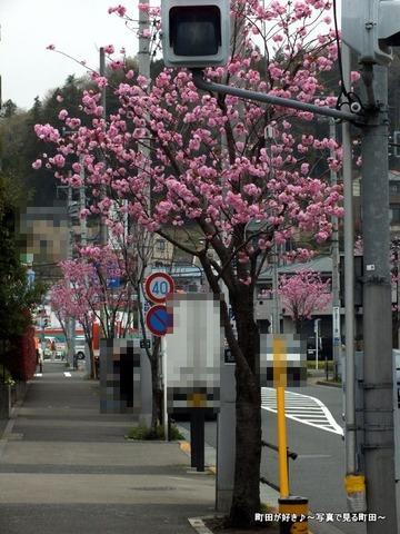 20130330077道端の八重桜@成瀬