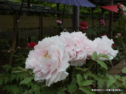 20130420221町田ぼたん園