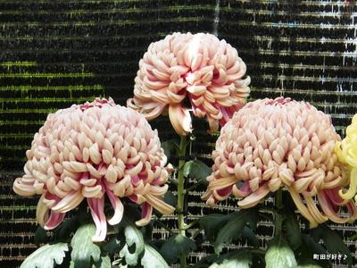 20091103066 第16回町田市菊花展
