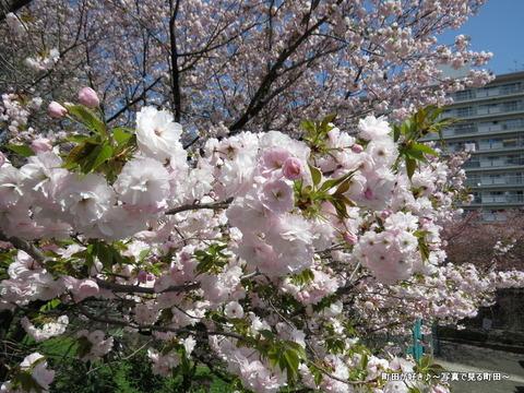 20140412041八重桜(ヤエザクラ)@城山公園(成瀬城跡)