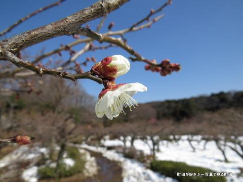 20140222033雪と梅の花@薬師池公園