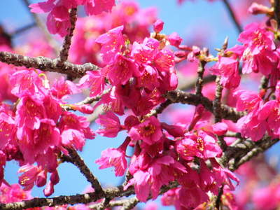 2009031515.jpg カンヒザクラ(寒緋桜)が綺麗です