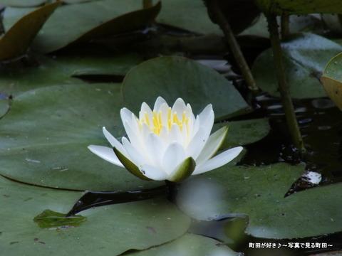 2013052667薬師池公園・睡蓮の池