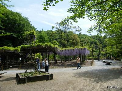 20100509046薬師池公園の藤棚