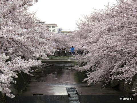 2016040345恩田川の桜
