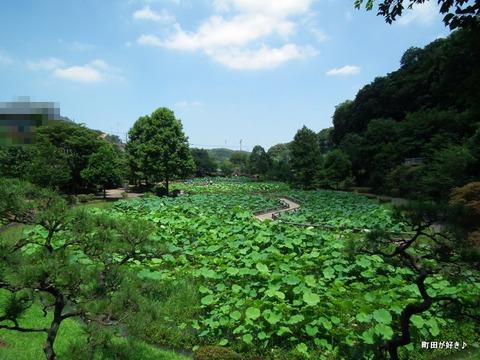 2011071623薬師池公園の大賀ハス