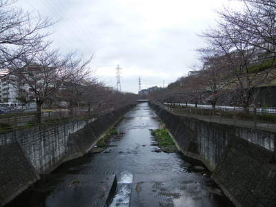 2009032806.jpg 恩田川の桜、1分咲きから3分咲き