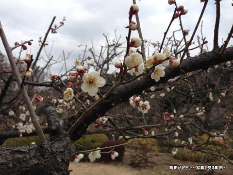 20130303123薬師池公園の梅の花