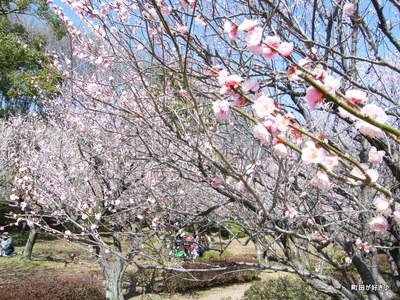 2010031457薬師池公園、梅花