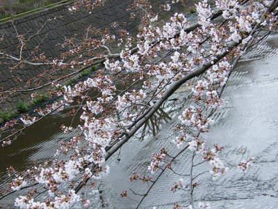 2009032820.jpg 恩田川の桜、1分咲きから3分咲き