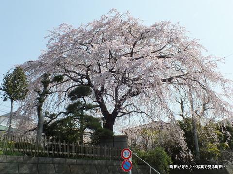2013032033成瀬の紅しだれ桜