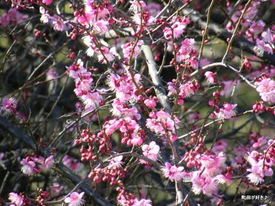 20100130079町田市本町田梅の花