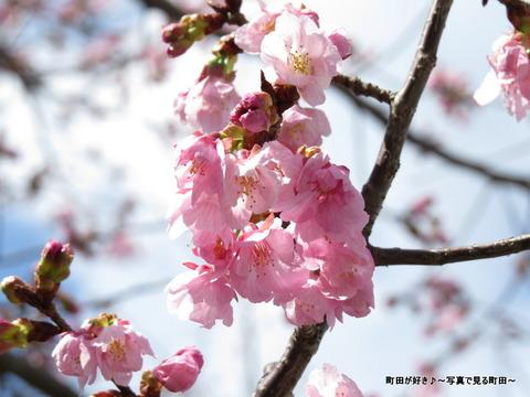 2014032132恩田川沿いの早咲きのサクラ