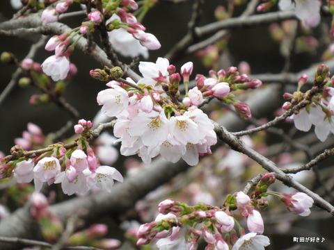 2016032106恩田川の桜