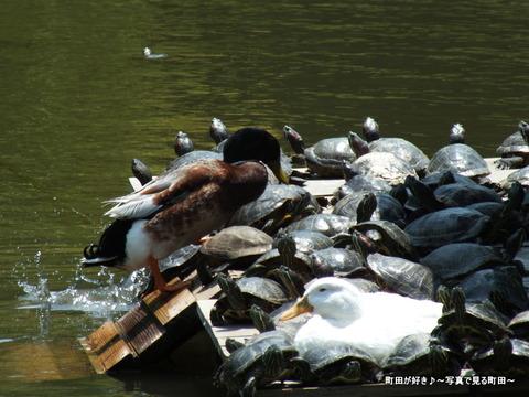 2013052645なんとなく亀・・・@薬師池公園
