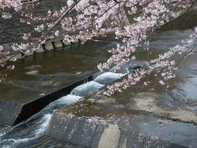 20090404070.jpg 恩田川の桜が見頃です