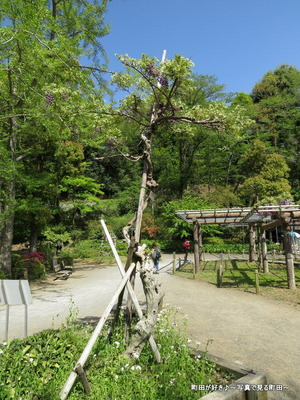20140428134薬師池公園の藤の花