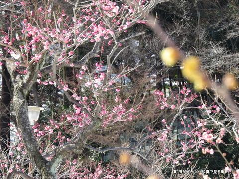 20140222066雪と梅の花@薬師池公園