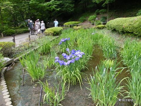 20100530061薬師池公園花菖蒲田