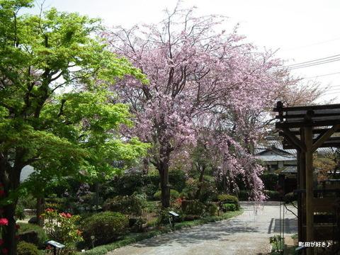 20110416026枝垂桜@町田ぼたん園