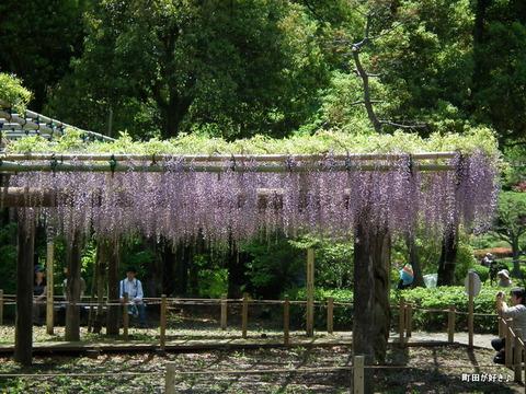 20120505156薬師池公園の藤の花