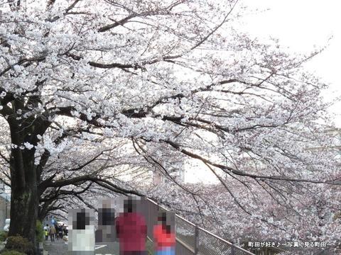 20140330128恩田川沿いの桜並木