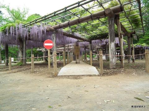 2011050646薬師池公園の六尺フジ