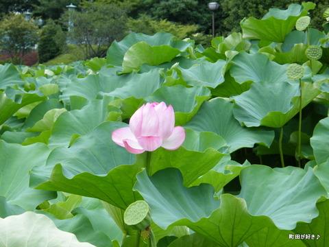2010081370薬師池公園の大賀ハス