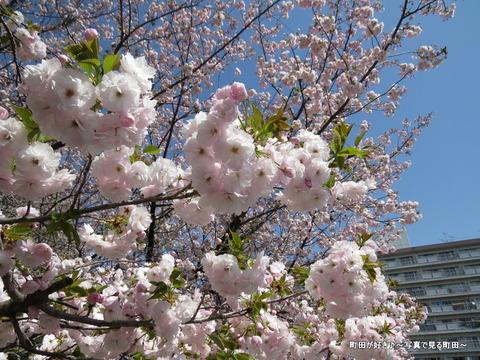 20140412043八重桜(ヤエザクラ)@城山公園(成瀬城跡)
