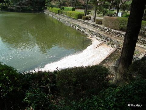 20110416098薬師池に浮かぶ花びら