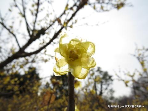 2014010416忠生公園のロウバイ