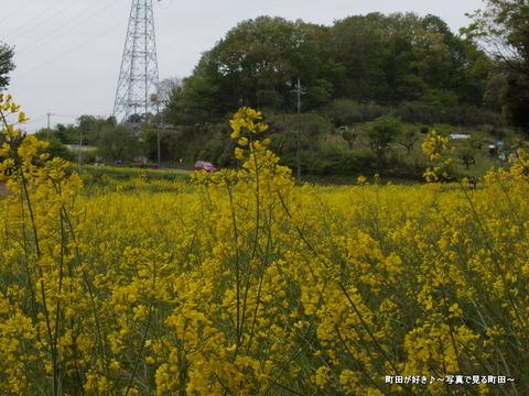 20130420091七国山の菜の花