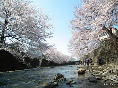20120408103高瀬橋付近の桜、満開です