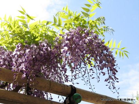 20140428165薬師池公園の藤の花