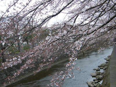2009032811.jpg 恩田川の桜、1分咲きから3分咲き