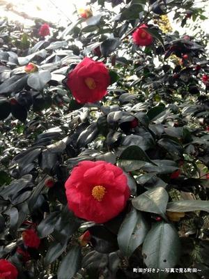 2014032942赤いツバキの花@芹ヶ谷公園