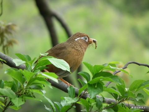 2011050623ガビチョウ@薬師池公園