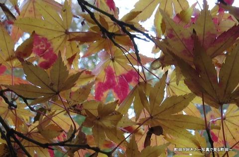 2013112439b芹ヶ谷公園の不思議な紅葉