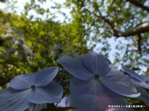 2013060865紫陽花と蜘蛛?