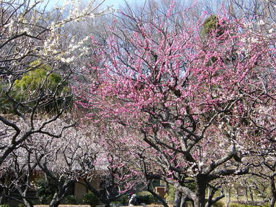 20090221054.jpg 薬師池公園の梅の花が見頃です