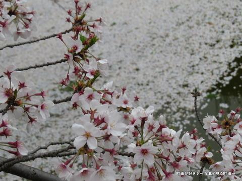 20150404162サクラの花びら@恩田川沿いの弁天橋公園