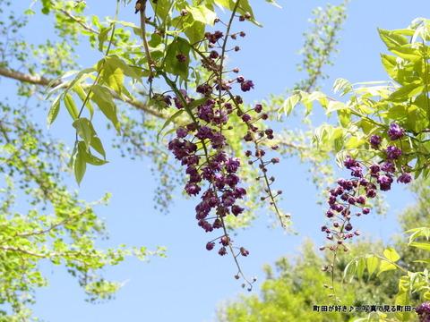 20140428130薬師池公園の藤の花