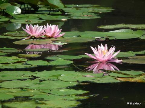 20110723102薬師池公園の睡蓮の花