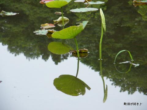 20100529215薬師池公園のハス田