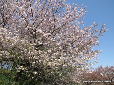 20140412037八重桜(ヤエザクラ)@城山公園(成瀬城跡)