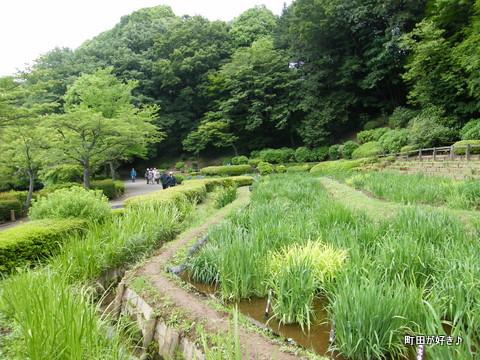 20100530057薬師池公園花菖蒲田