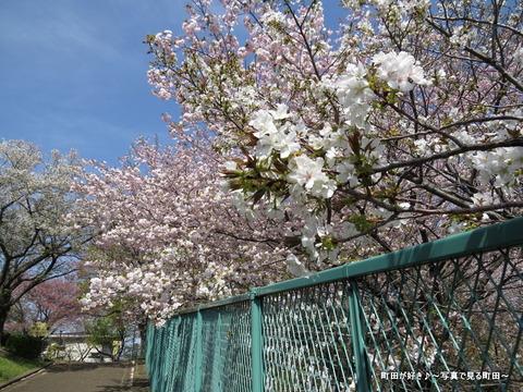 20140412015八重桜(ヤエザクラ)@城山公園(成瀬城跡)